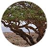 Boswellia carterii stem bark resin - Zen Herbal Liniment Spray & Gel