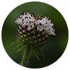 Dipsacus japonicus root - Zen Herbal Liniment Spray & Gel
