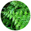 Drynaria fortunei rhizome - Zen Herbal Liniment Spray & Gel