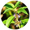 Mentha arvensis herb oil - Zen Herbal Liniment Spray & Gel