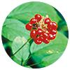 Panax pseudoginseng root - Zen Herbal Liniment Spray & Gel