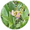 Spatholobus suberectus stem - Zen Herbal Liniment Spray & Gel